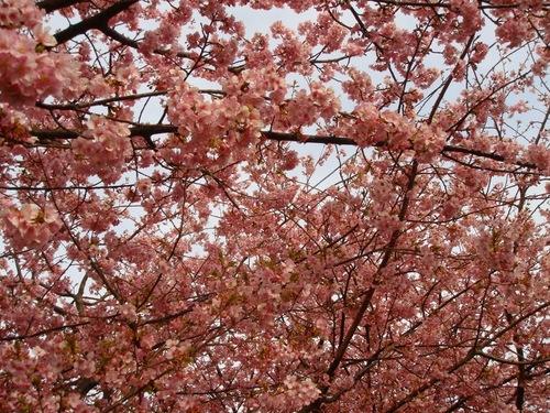 満開の河津桜!
